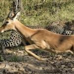 Leopardo cazando impala escondido