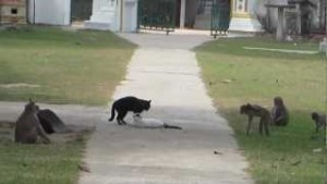 monos paran pelea gatos