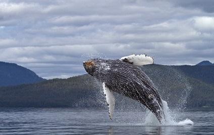 ballena jorobada volando