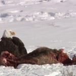 Coyote vs aguila americana
