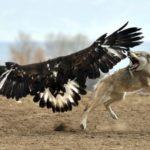 Aguilas cazando un lobo