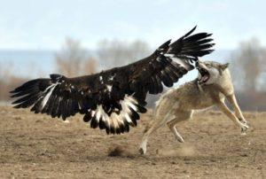 aguila cazando lobo