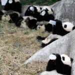 La Guarderia de los Bebe Pandas
