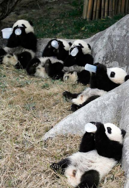 bebes panda comiendo