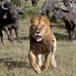 ¿Los bufalos detienen a tres leones matando a leon?