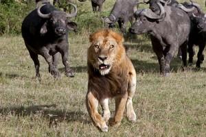 bufalos persiguiendo leon