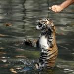 Cachorros tigre nadando por primera vez