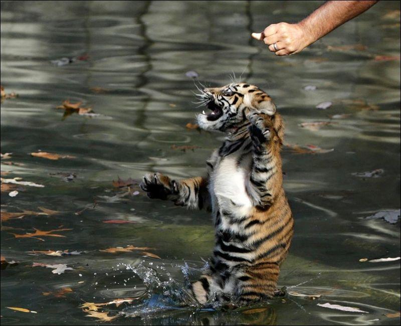 cachorro tigre nadando