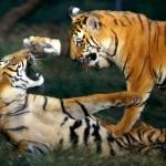 Tigre y tigresa enfrentandose