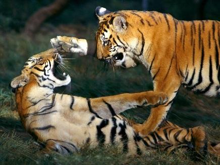 cachorro tigres peleando