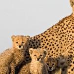 Documental – El guepardo, la carrera por el trono