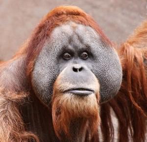 documental orangutan rojo borneo