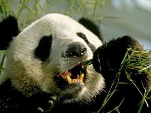 documental oso panda gigante