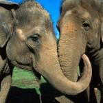 Dos elefantes se reencuentran tras 20 años