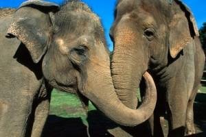 dos elefantes reunidos
