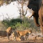 Elefante espantando a una manada de leones