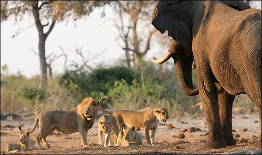 elefante manada leones