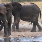 Elefante entre cientos de hipopotamos