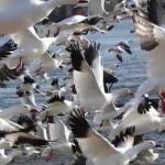 Miles de gansos volando