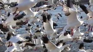 gansos volando