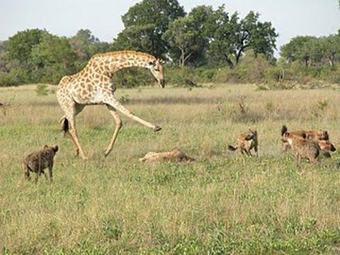 Jirafa pateando a un leon tras perder a su cria