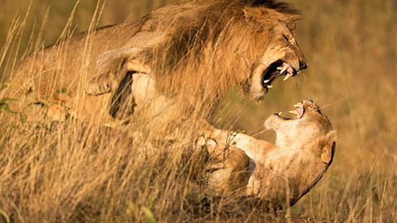 Leon y leona peleando