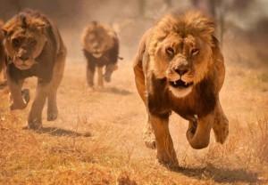 leones corriendo