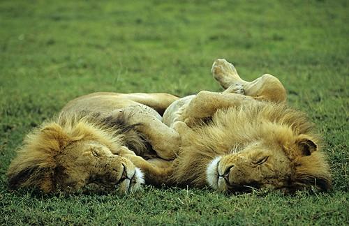 Seis leones echando la siesta juntos