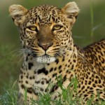 Leopardo revolcandose