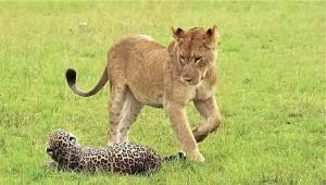 leopardo leona