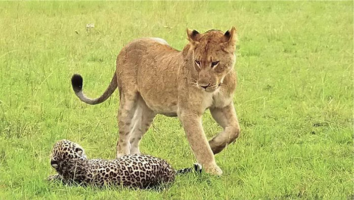 Leopardo peleando con cuatro leonas