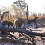 Elefante intenta echar a un leopardo de su arbol