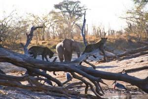 leopardos elefantes