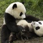 Tres osos panda jugando