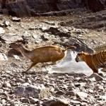 Tigre cazando (BBC)