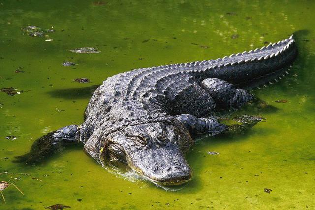 Aligátor americano 10 cocodrilos mas grandes del mundo