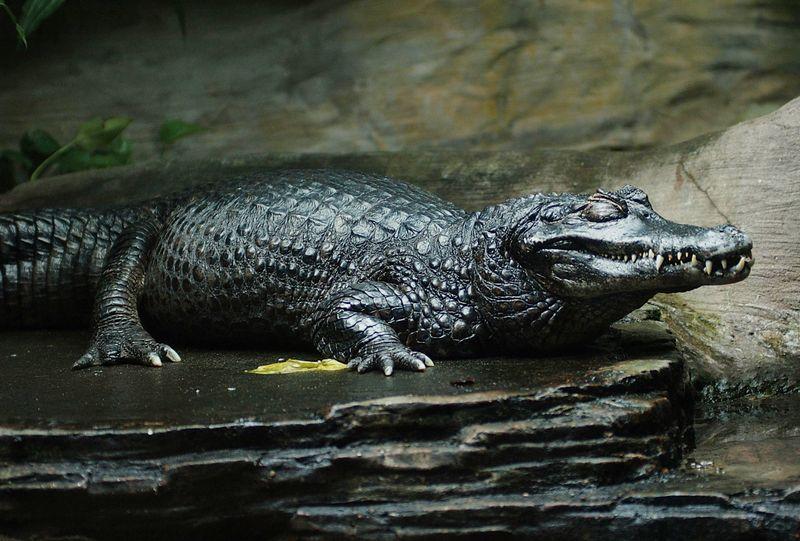 Caimán negro 10 cocodrilos mas grandes del mundo