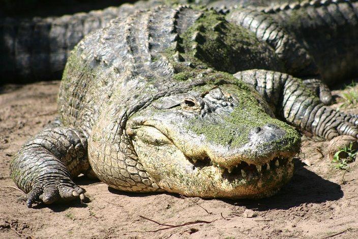 Cocodrilo-americano-10-cocodrilos-mas-grandes-del-mundo