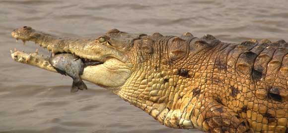 Cocodrilo caimán del Orinoco 10 cocodrilos mas grandes del mundo