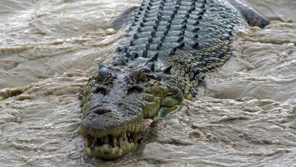 Los 10 cocodrilos y caimanes mas grandes del mundo