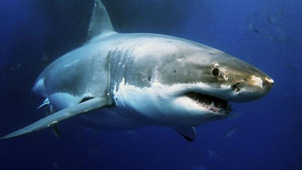 Gran Tiburón blanco 10 tiburones mas grandes del mundo