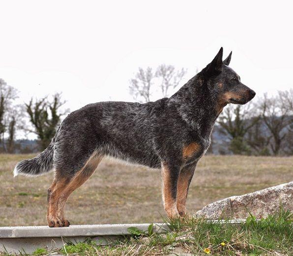 Pastor-ganadero-australiano-10-perros-mas-inteligentes-compressor