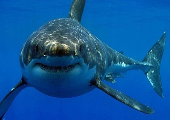 Tiburón 10 tiburones mas grandes del mundo
