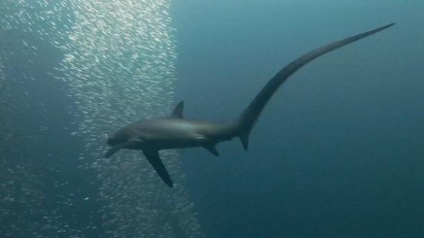 Tiburón azotador 10 tiburones mas grandes del mundo