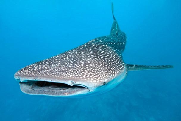 Tiburón ballena 10 tiburones mas grandes del mundo