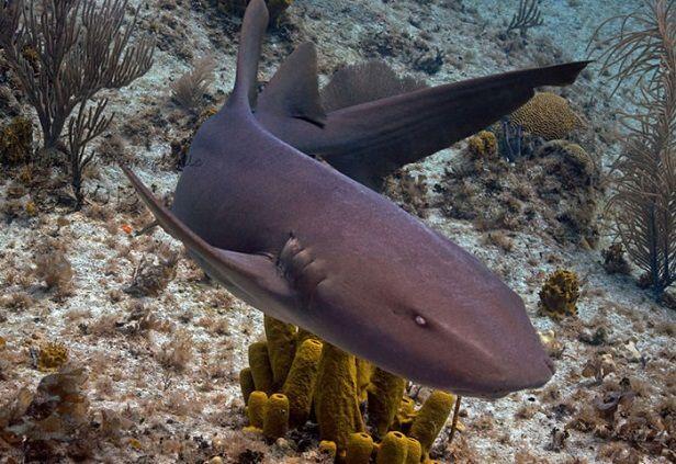 Tiburón-gato-especies-de-tiburones