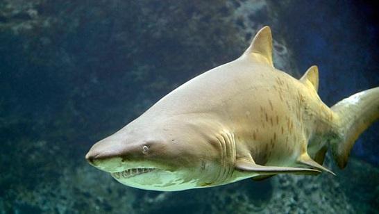 Tiburón limon especies de tiburones