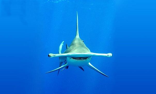Tiburón martillo gigante 10 tiburones mas grandes del mundo