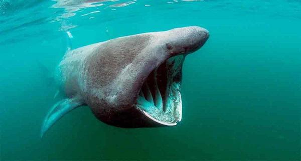 Tiburón peregrino 10 tiburones mas grandes del mundo