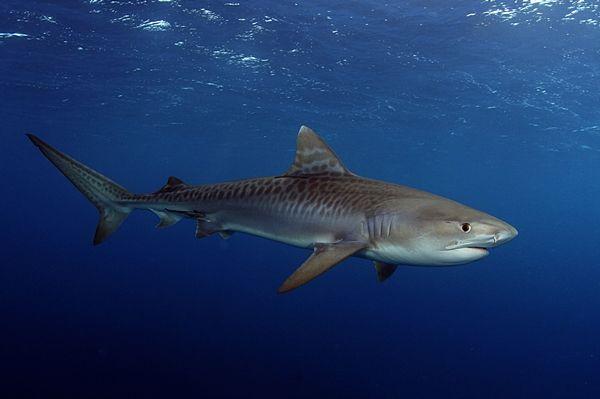 Tiburón-tigre-especies de tiburones